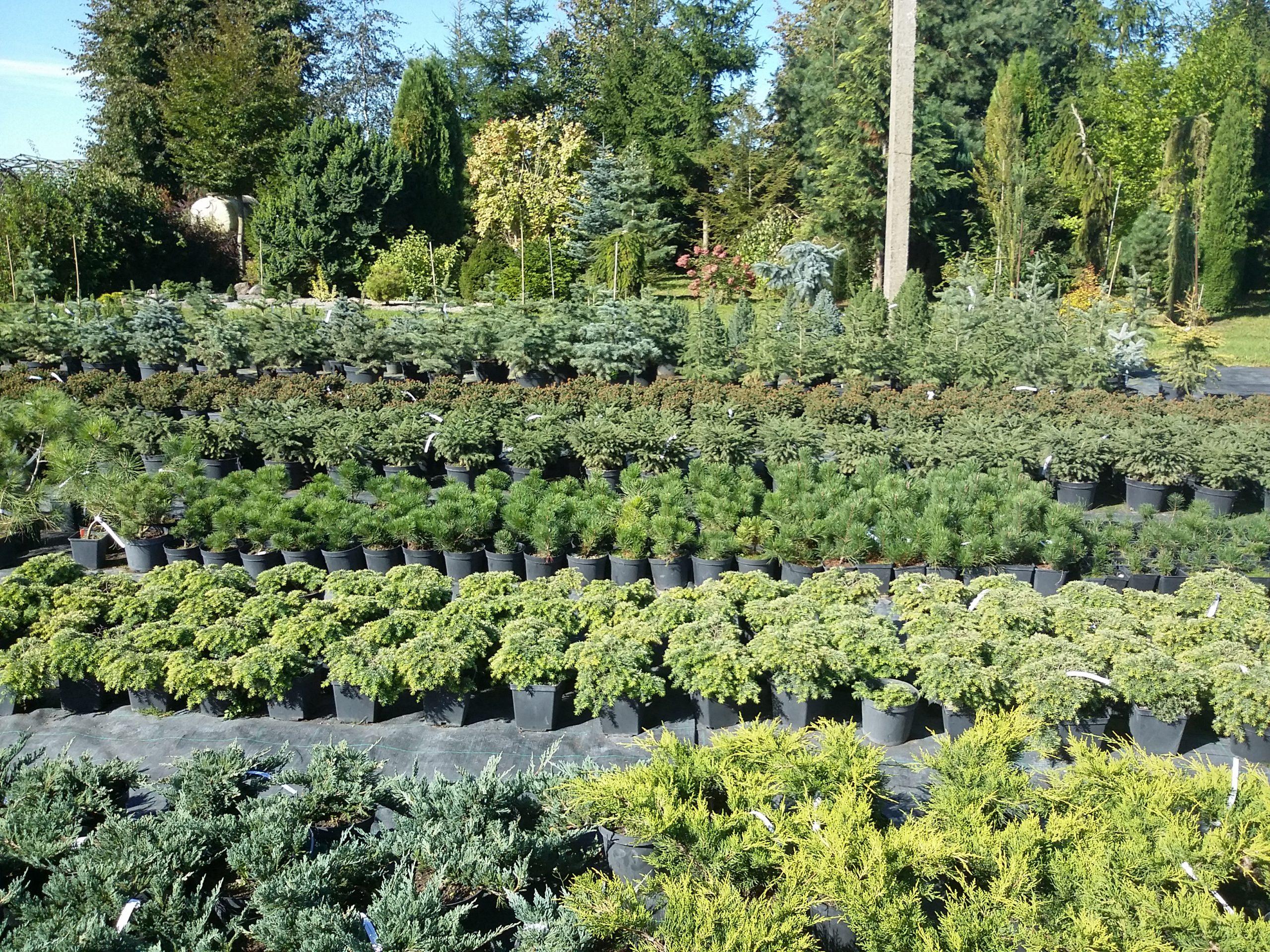 Spygliuočiai augalai vazonuose