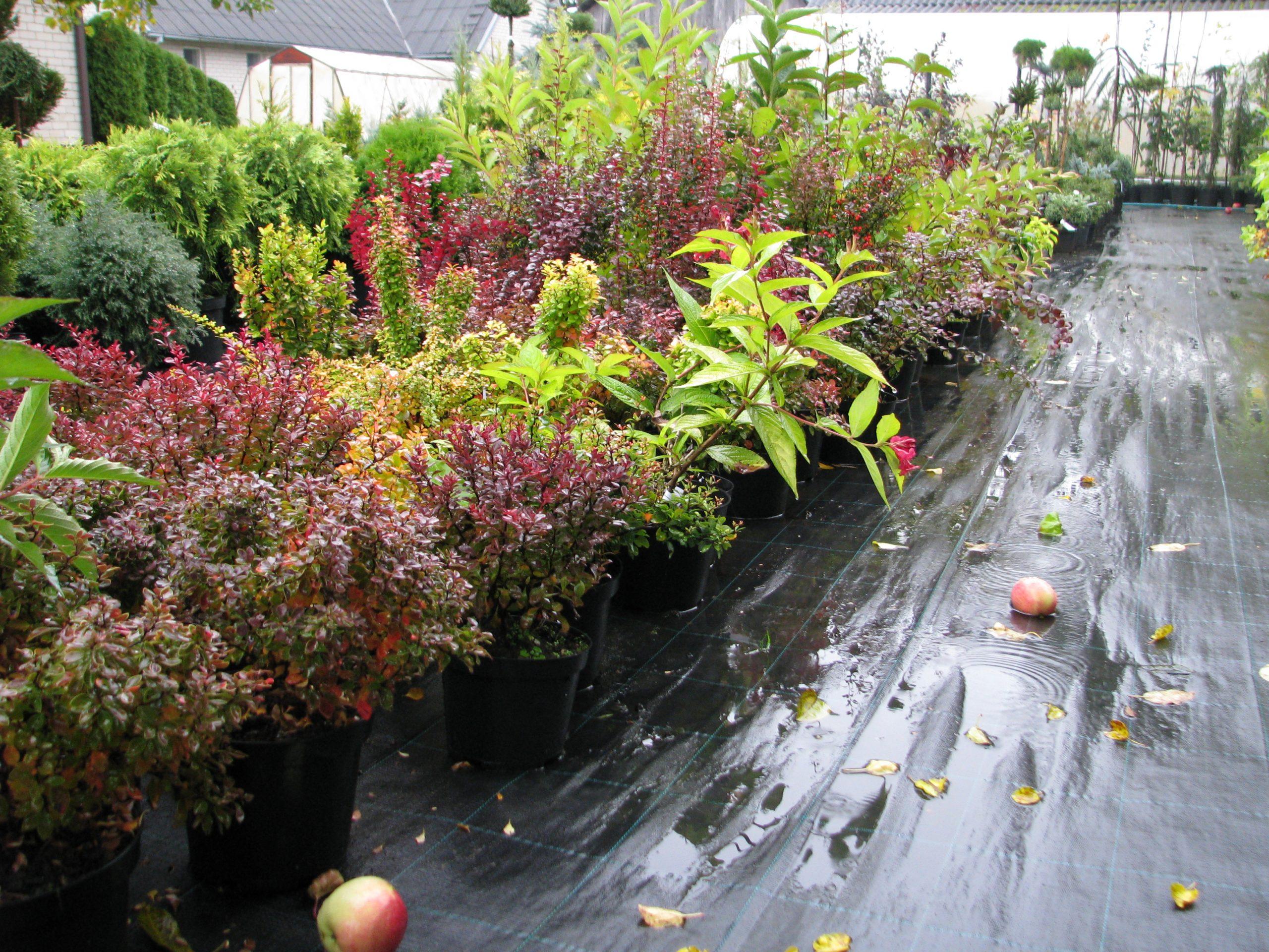 Augalai medelyno prekybos aikštelėje