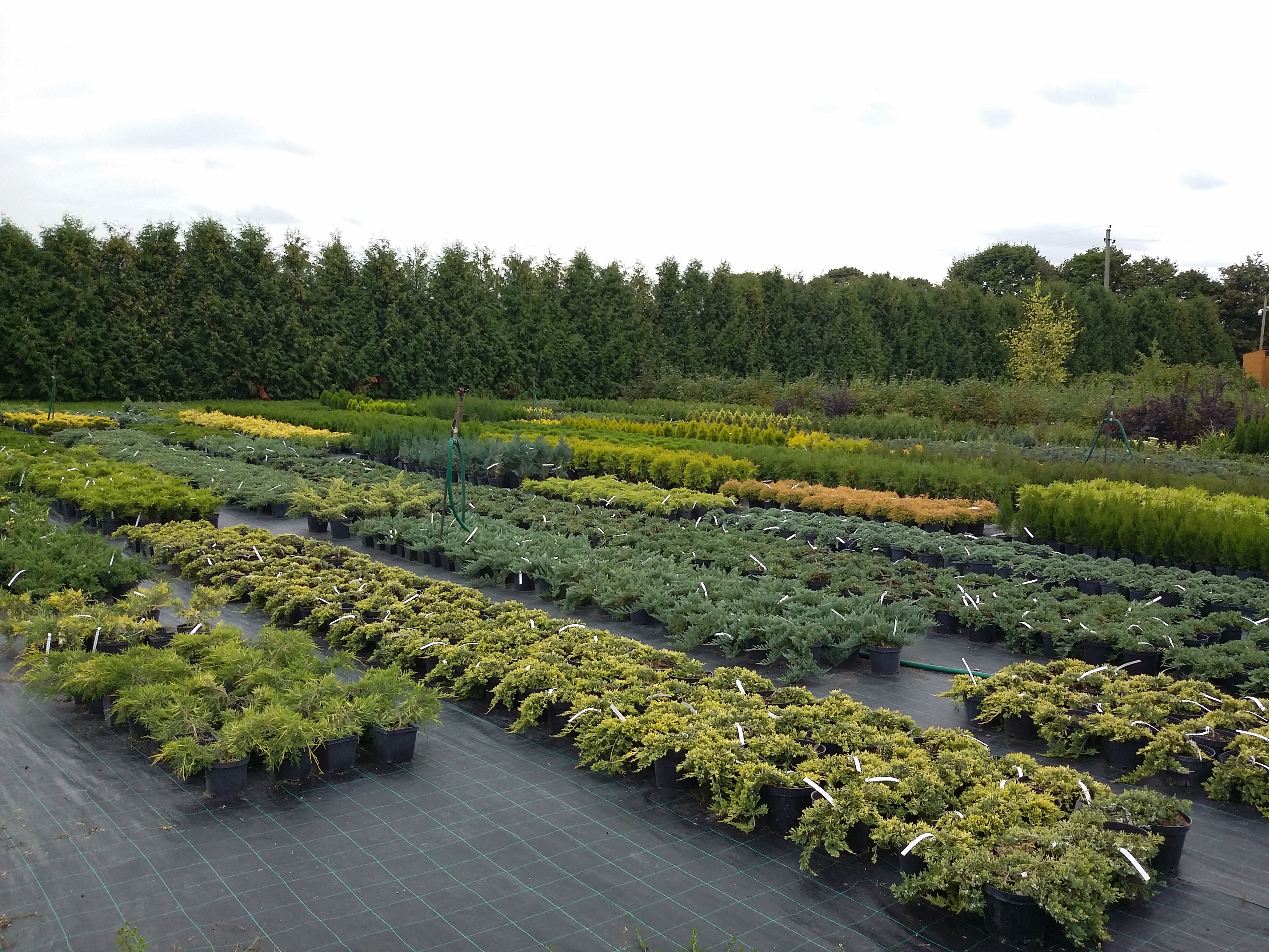 Medelynas - sodinukai vazonuose