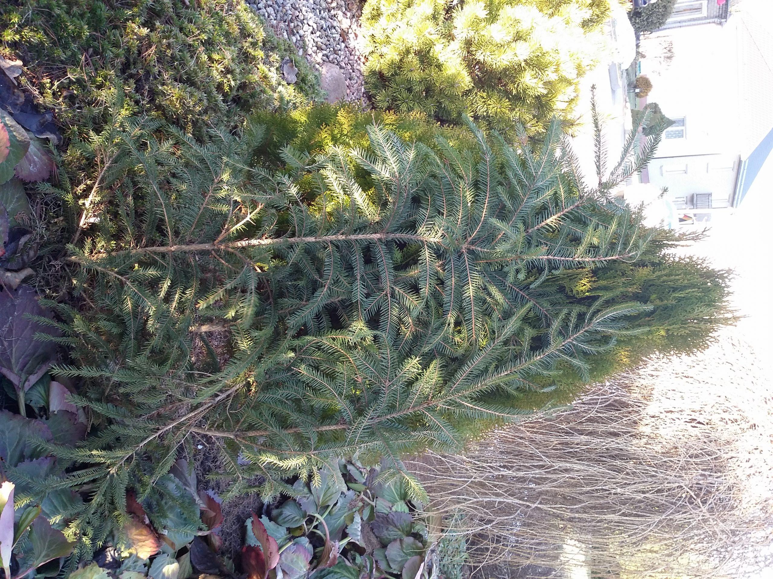 Augalų dengimas žiemą