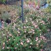 Sidabražolė krūminė 'Lovely Pink'