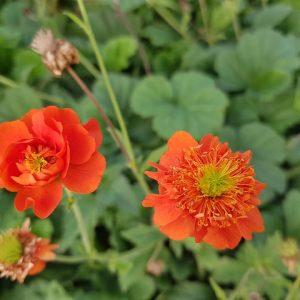 raudonziede-ziognage