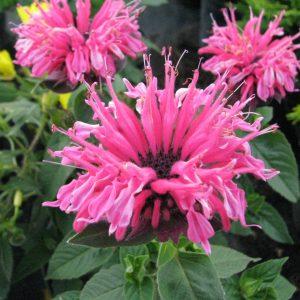 Monarda 'Pink Lace'