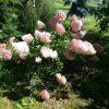 Hortenzija šluotelinė Sundae Fraise