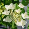 sluoteline-hortenzija-wim's-red
