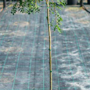 geltonoji-akacija-pendula