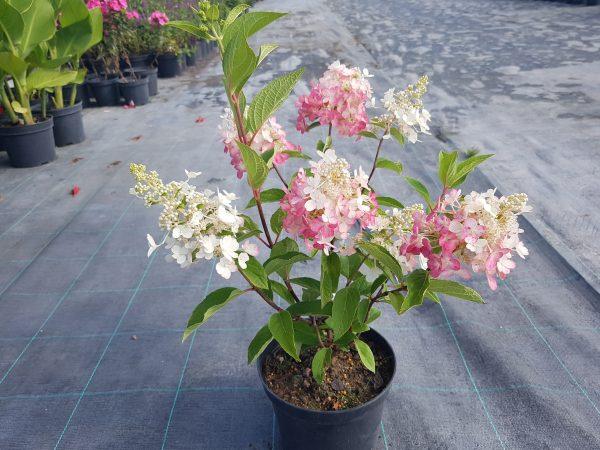 Šluotelinė hortenzija 'Candlelight'