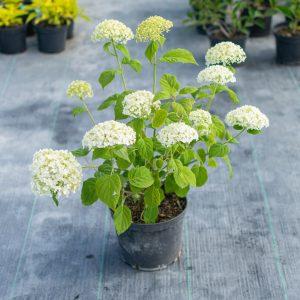 Šviesioji hortenzija