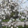 Žvaigždėtoji magnolija