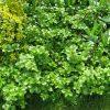 Laipiojančioji hortenzija