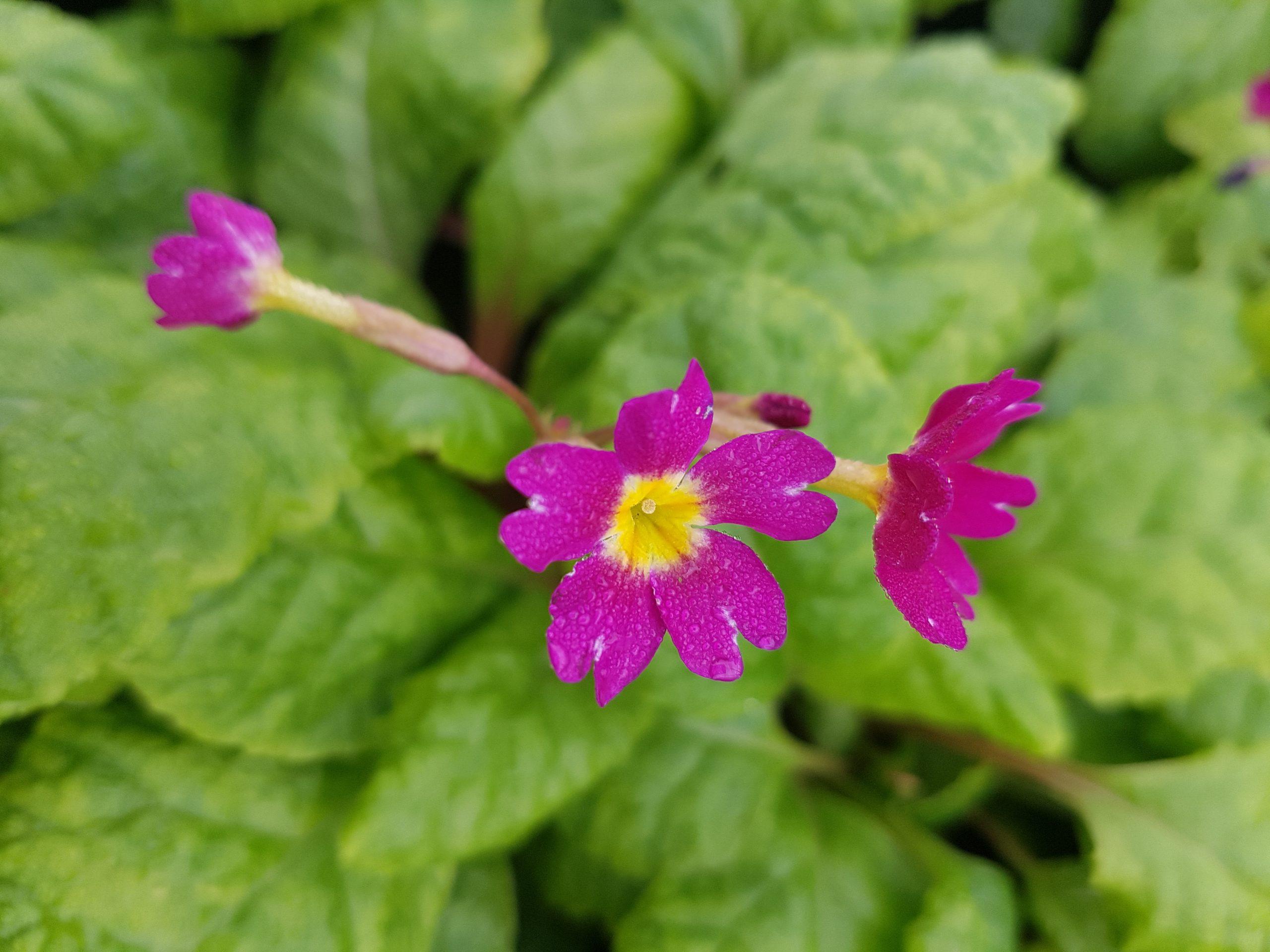 Paprastoji raktažolė (violetinė) (2)