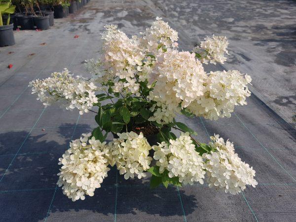 Šluotelinė hortenzija 'Grandiflora'