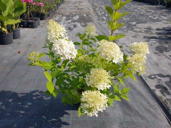 Šluotelinė hortenzija 'Limelight'