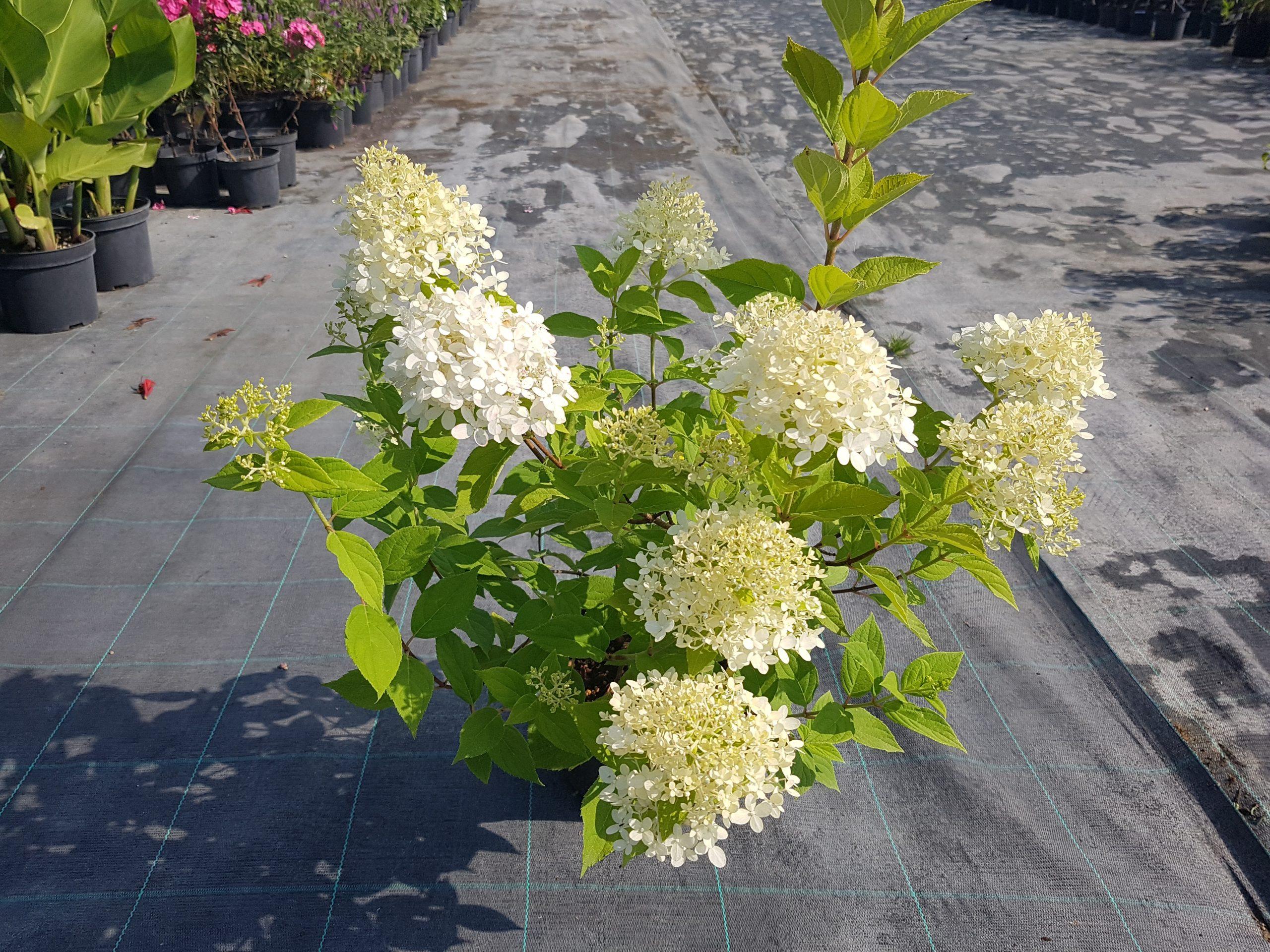 Šluotelinė hortenzija 'Limelight' (2)