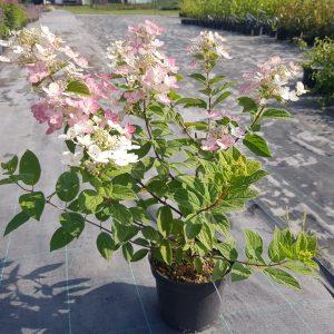 Šluotelinė hortenzija 'Magical Fire'