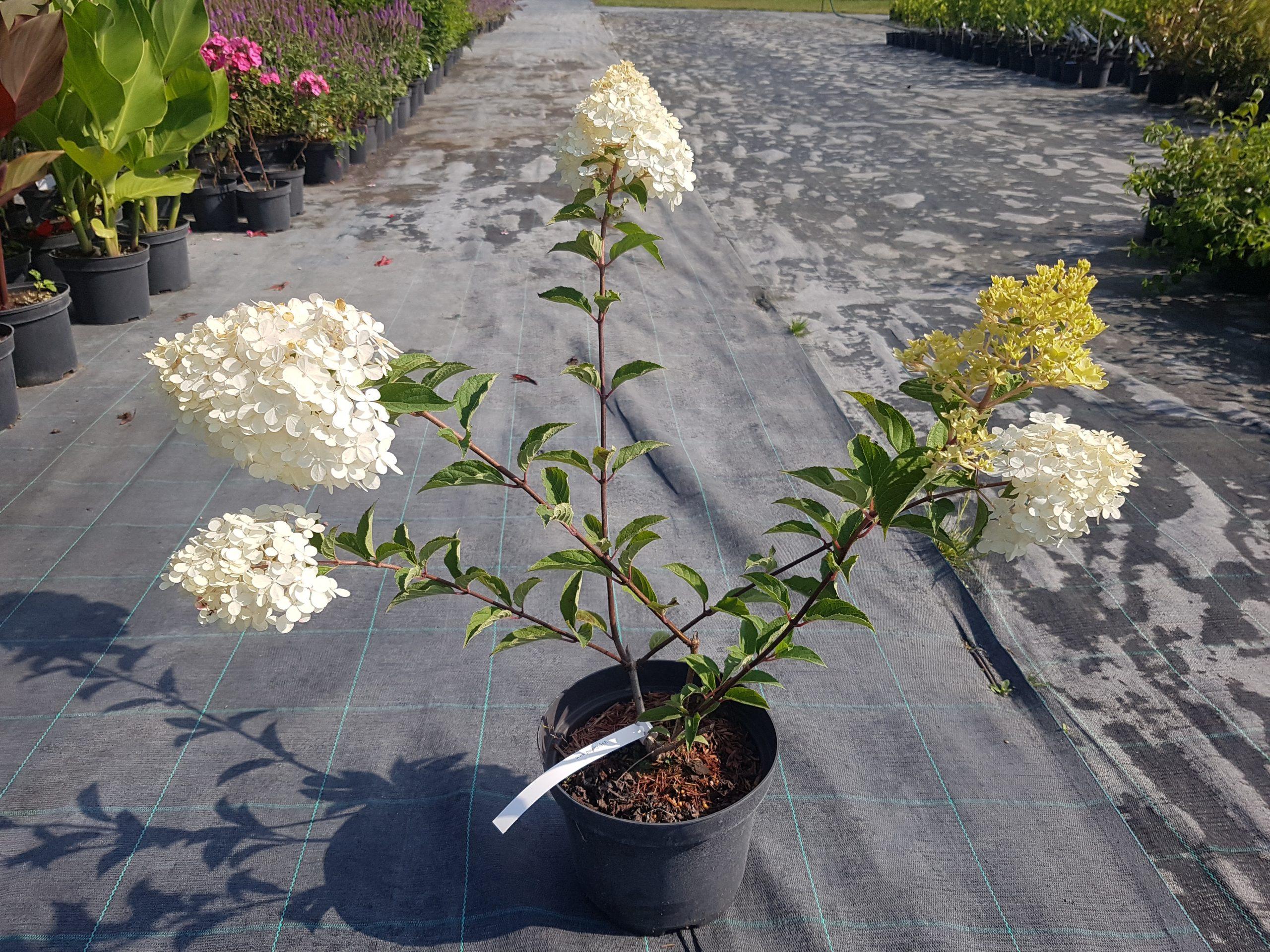Šluotelinė hortenzija 'Vanilla Fraise'