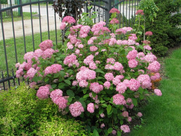 Šviesioji hortenzija 'Pink Annabelle'