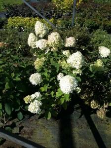 Hortenzija šluotelinė 'Limelight'