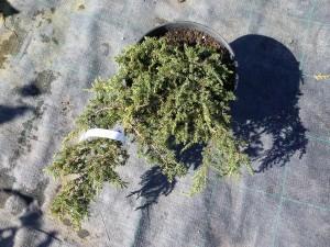 Paprastasis kadagys 'Green Carpet'